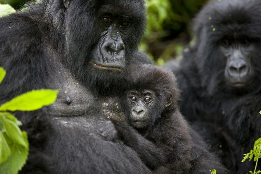 Congo Virunga